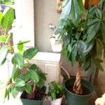 アンスリウム・パキラなどの観葉植物の植え替え